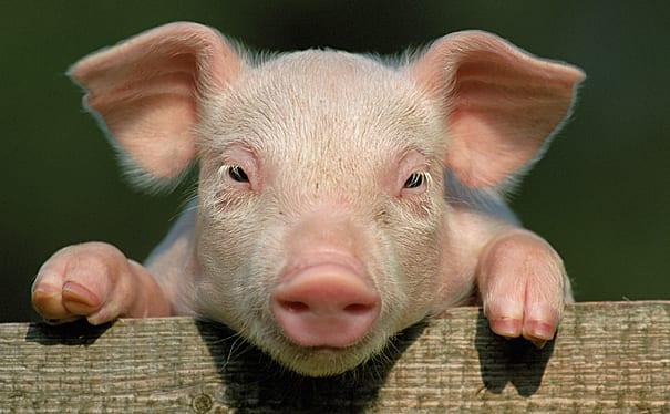 En million svin er en god start